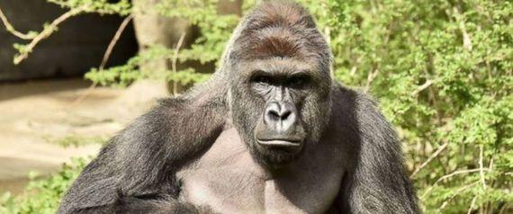 2016-06-01-1464810605-2970131-gorilla.jpg