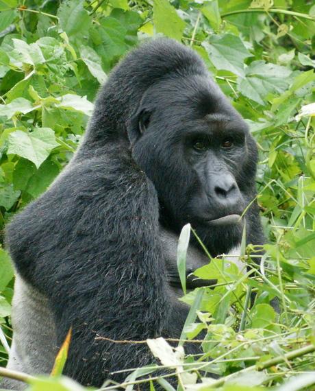 2016-06-01-1464817813-515414-Gorillas_in_Uganda1_by_Fiver_Lcker.jpg