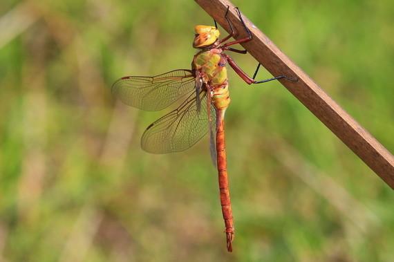 2016-06-02-1464856165-3061933-dragonflies.JPG