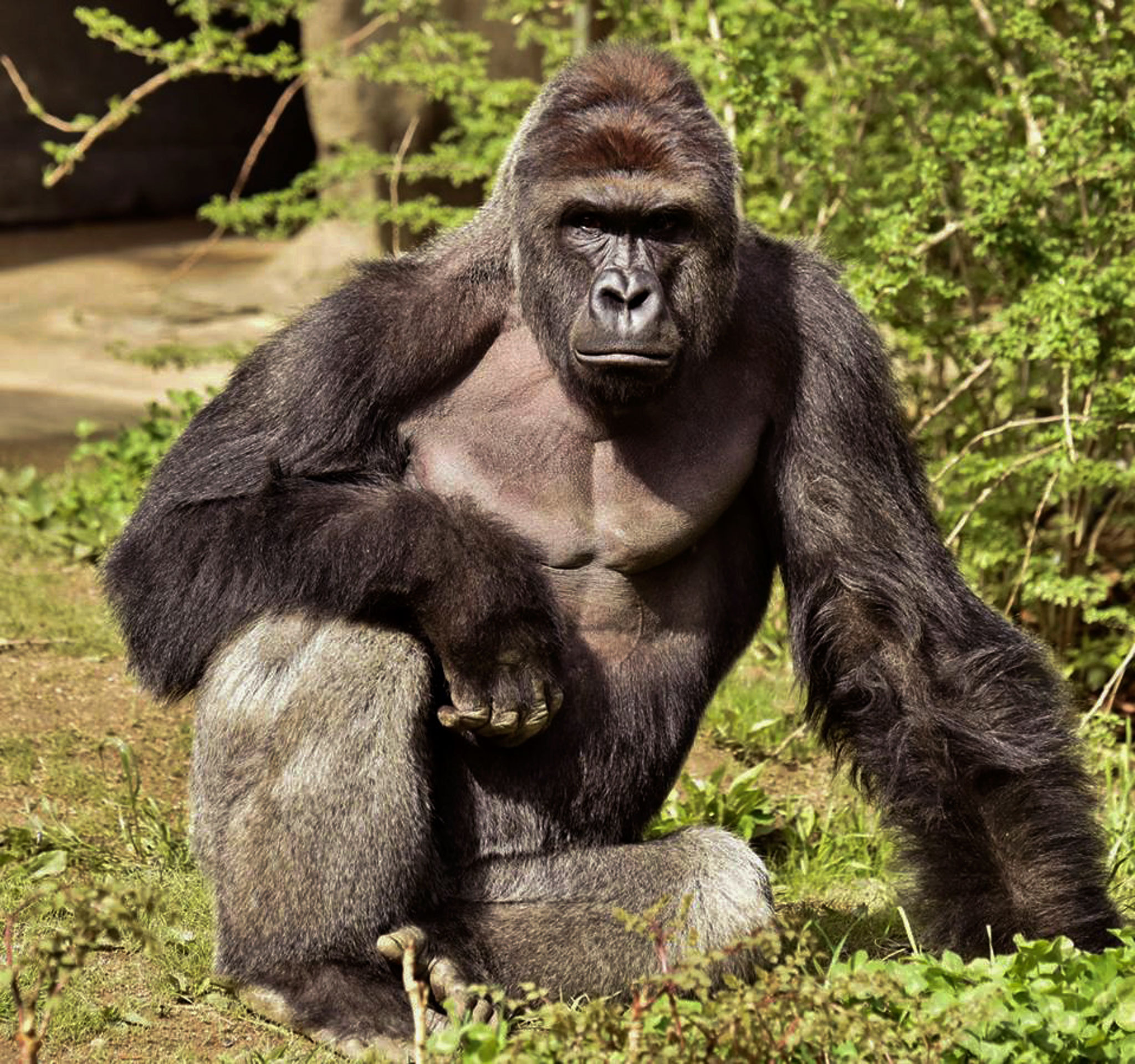 Why Does The Death Of A Gorilla Hurt Us So Much Huffpost