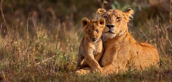 2016-06-03-1464965267-530109-lion.jpg