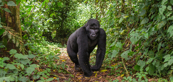 2016-06-03-1464965294-4451418-gorilla.jpg