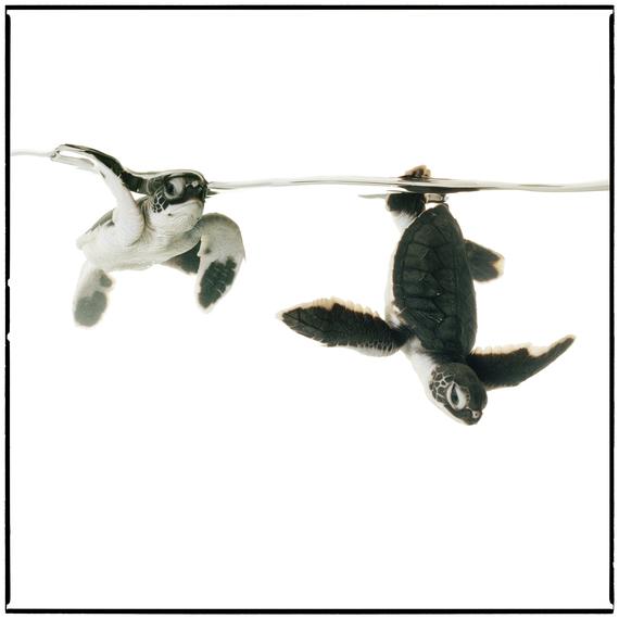 2016-06-09-1465478355-1584735-Green_Sea_Turtle3flat_add_border.jpg