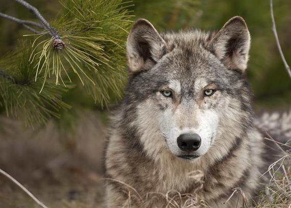 2016-06-10-1465580798-7061995-Wolf_Ponderosa.jpg