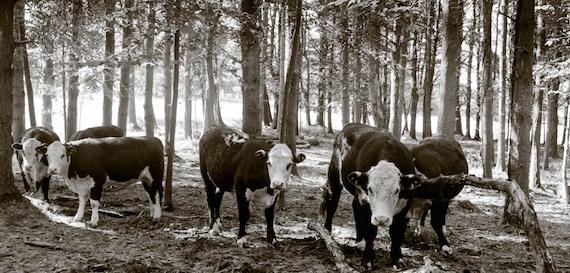 2016-06-10-1465581390-6965067-cattlewoods570.jpg
