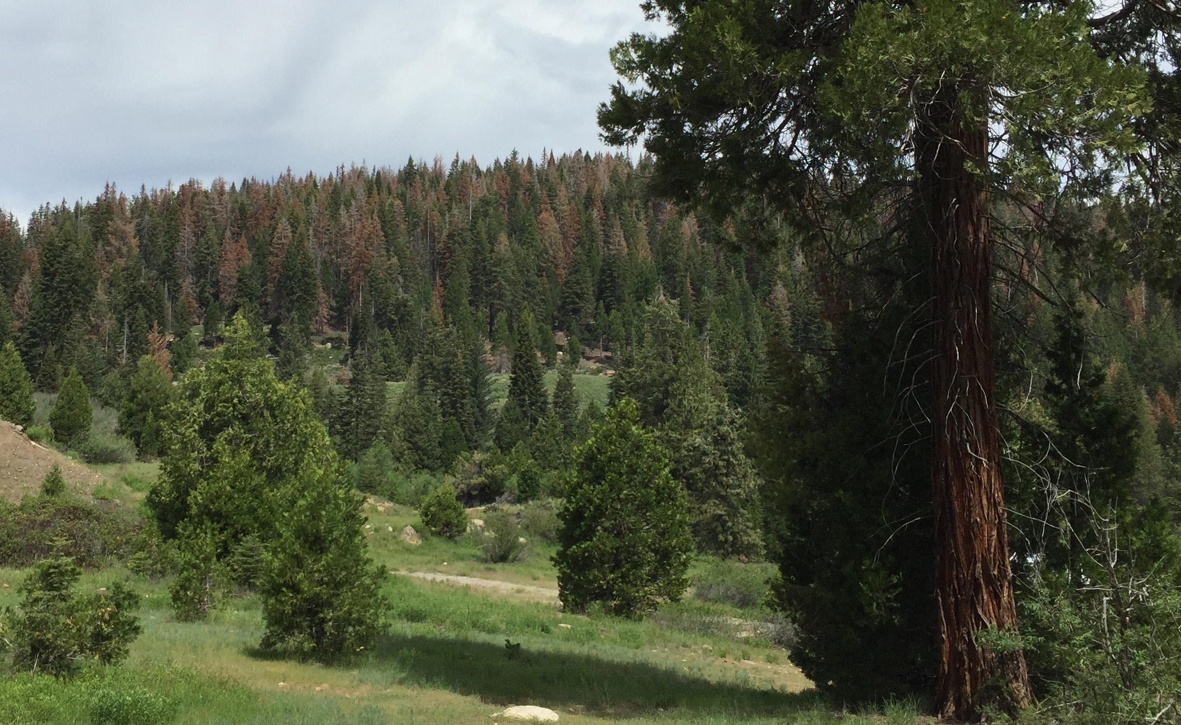 Pine Tree Deaths Plague California's Sierra Nevada | HuffPost