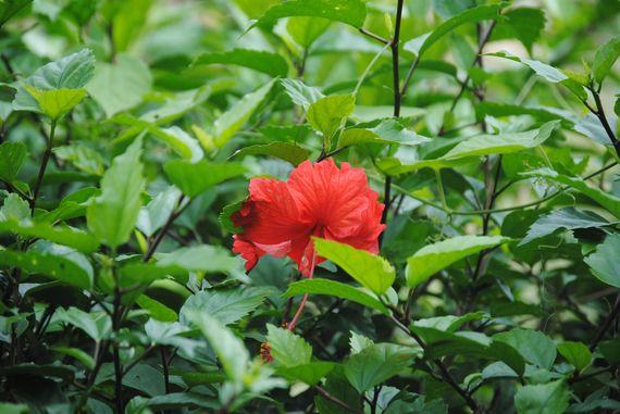 2016-06-13-1465791492-6574027-hibiscus.jpg