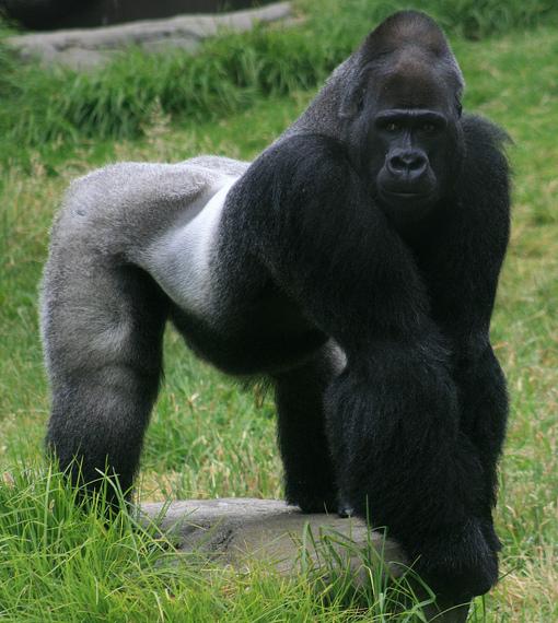 2016-06-17-1466175644-8230105-Male_gorilla_in_SF_zoo.jpg