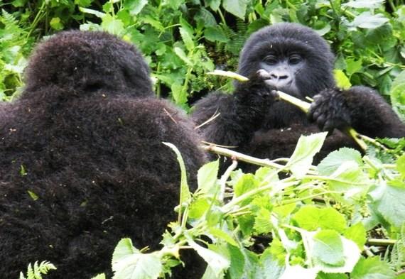 2016-06-17-1466185697-6727286-gorillasrwanda1.jpeg