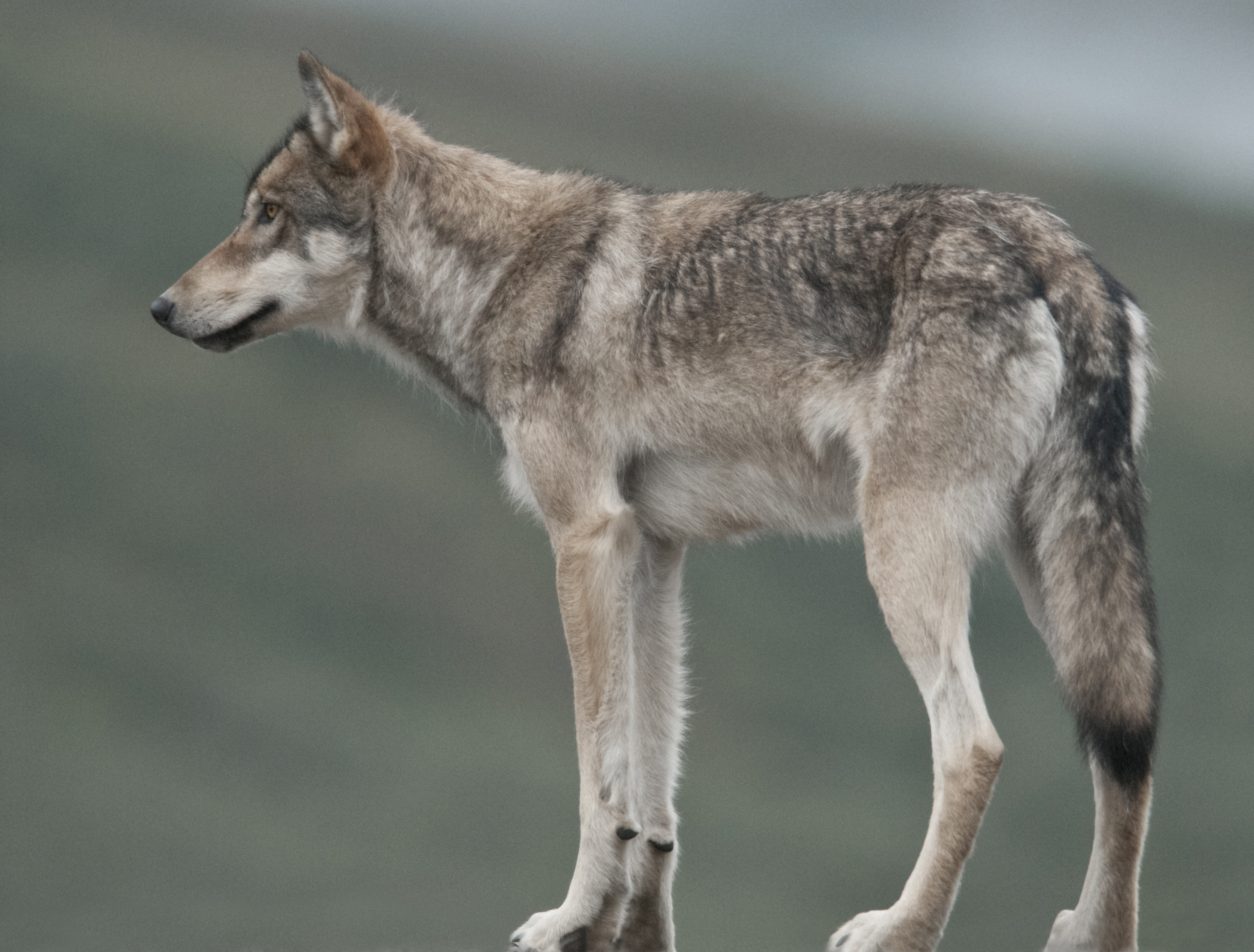 End Of An Era For Iconic Denali Wolf Pack Huffpost