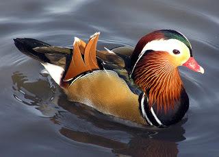 2016-06-20-1466428912-592314-1024pxMandarin.duck.arp.jpg