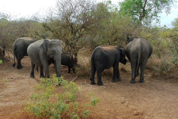 2016-06-30-1467289083-8189011-Elephant_Herd_Yala_National_Park.jpg