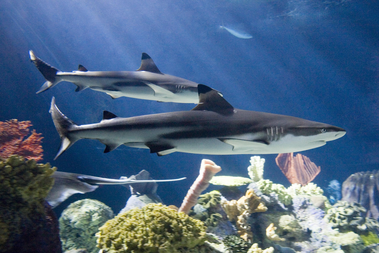 Baby black tip reef shark - photo#52