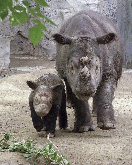 2016-07-06-1467843157-406364-Sumatran_Rhino.jpg