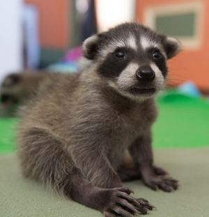 Orphaned baby raccoon at WildCare (wildcarebayarea.org) Photo by Shelly Ross