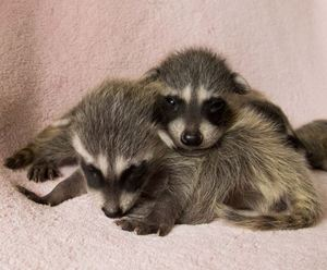 Orphaned baby raccoons at WildCare (wildcarebayarea.org) Photo by Shelly Ross