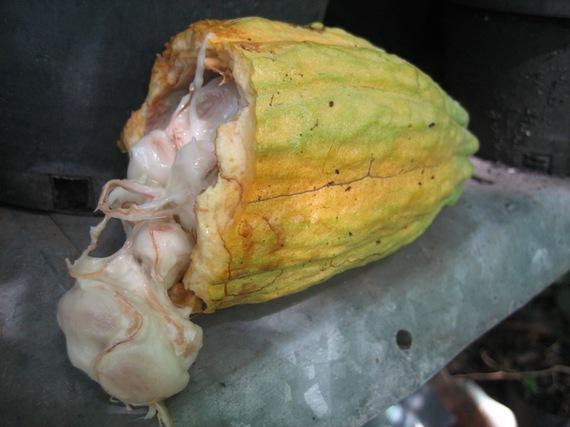 2016-07-10-1468179782-1781856-cacaopod.jpg