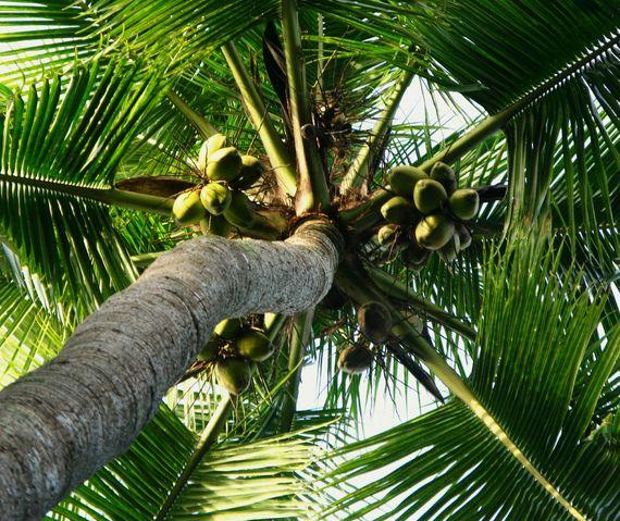 2016-07-14-1468521697-7531616-palmtreewithcoconuts.jpg
