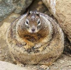 2016-07-24-1469377842-4195438-FatSquirrel.jpg