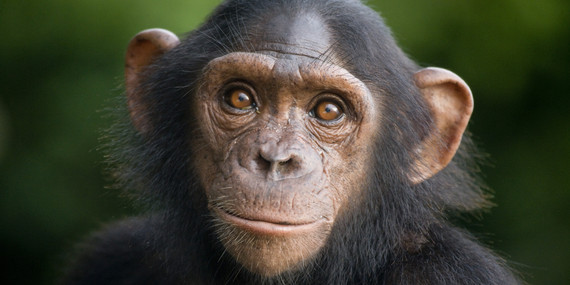 2016-08-03-1470225271-7818139-chimp.jpg