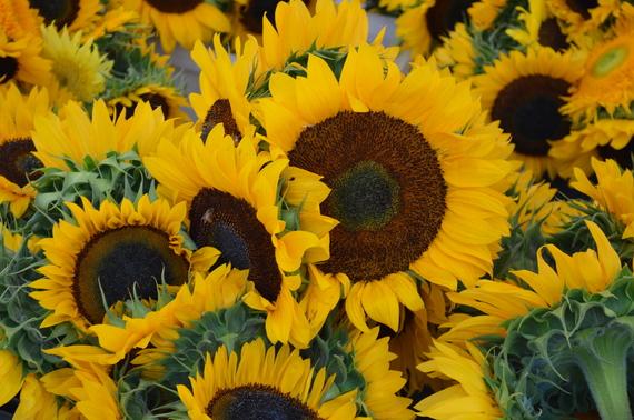 2016-08-04-1470349288-507481-Sunflowers.JPG