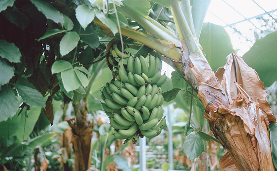 2016-08-09-1470769181-3497723-BananaRepublicbananatree.jpg