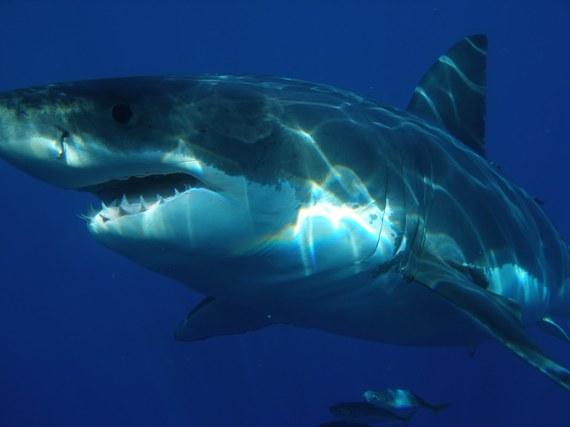 2016-08-16-1471354697-1425283-Great_white_shark.jpg