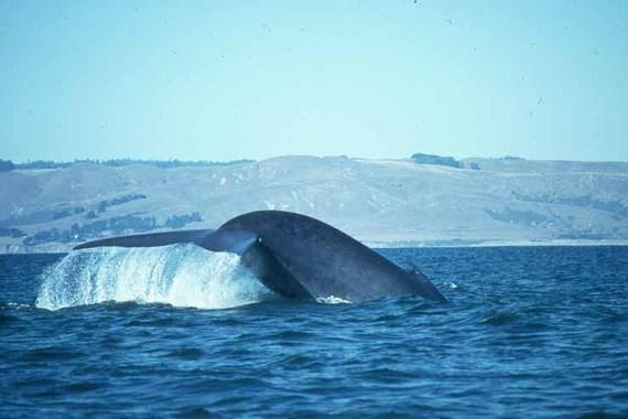 2016-08-17-1471476832-2252068-Bluewhale.jpg