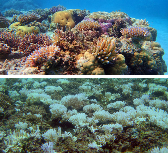bleaching away the beauty of coral reefs The great barrier reef—which, at 1,400 miles long, is the longest and largest coral reef in the world—was blanketed by dangerously hot water in the summer of 2016.