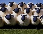 2016-08-24-1472062241-7395129-Sheep.jpg