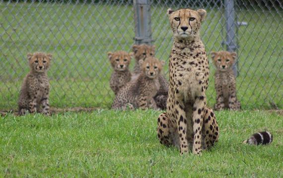 2016-08-25-1472147443-4715898-cheetah5.jpg