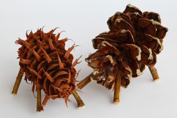 Thirteen Things You Never Knew About Pine Cones Huffpost