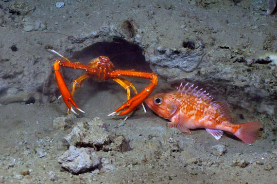 2016-08-30-1472594892-1944366-noaa_deepwater_canyon_lobster_rosefish.jpg