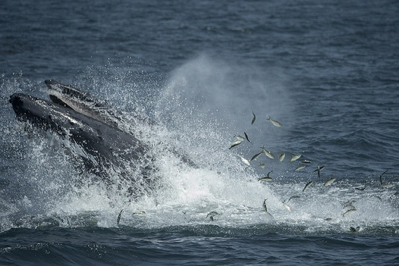 2016-08-30-1472597030-3286837-JulieLarsenMaher4255HumpbackWhaleFeedingNYBight082714reduced.jpg