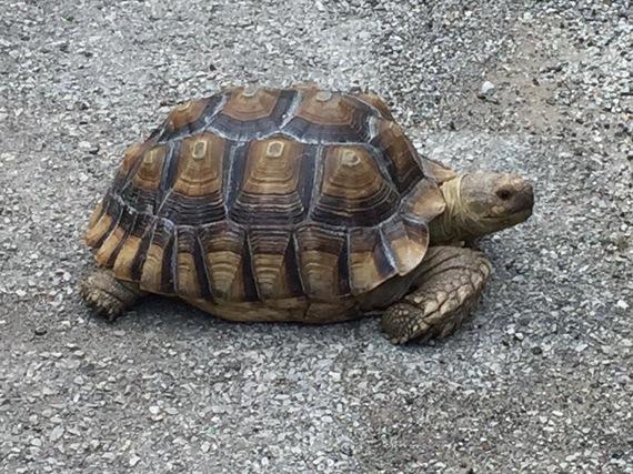 2016-08-31-1472659648-1388953-tortoise.jpg