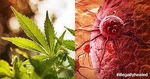 2016-09-05-1473093502-2865951-cannabiscancer.jpeg