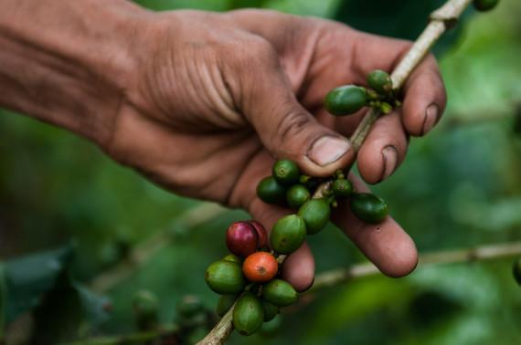 2016-09-06-1473178691-6549754-Coffeeplant.jpg