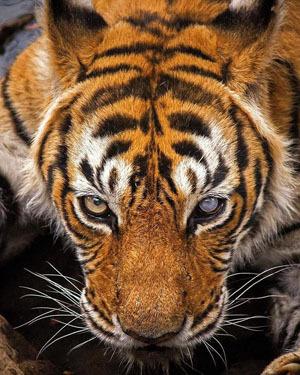 2016-09-20-1474387117-6825978-tigress300px.jpg