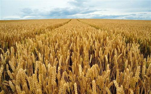 2016-09-29-1475180047-134746-wheatfieldwikimediacommons.jpg