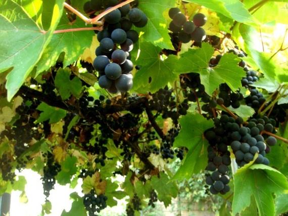 2016-10-04-1475596133-4494271-grapesCopy.jpg