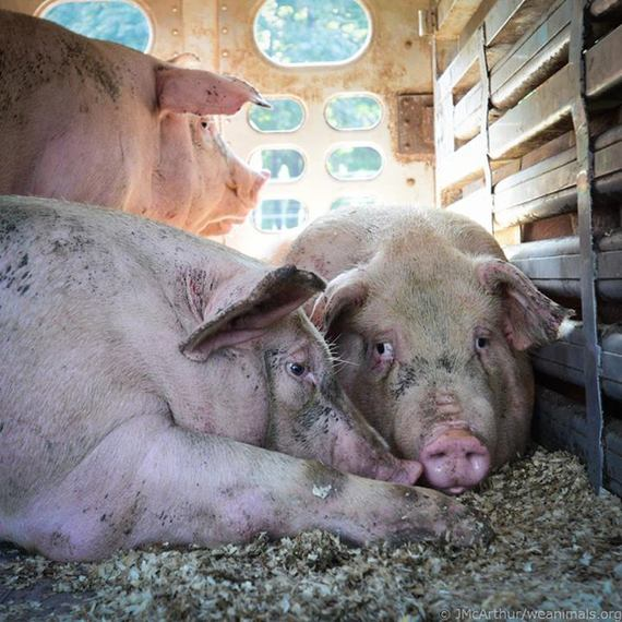 2016-10-05-1475673306-5953436-slaughterhousepigscomforteachother.jpg