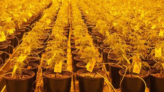2016-10-05-1475710821-3177730-emblemmedicalcannabismarijuanalpcanada41024x577.jpg