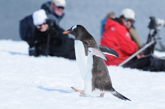 2016-10-10-1476125394-6814901-1_ObservingtheGentoopenguin_SandraPetrowitzOceanwideExpeditions.jpeg