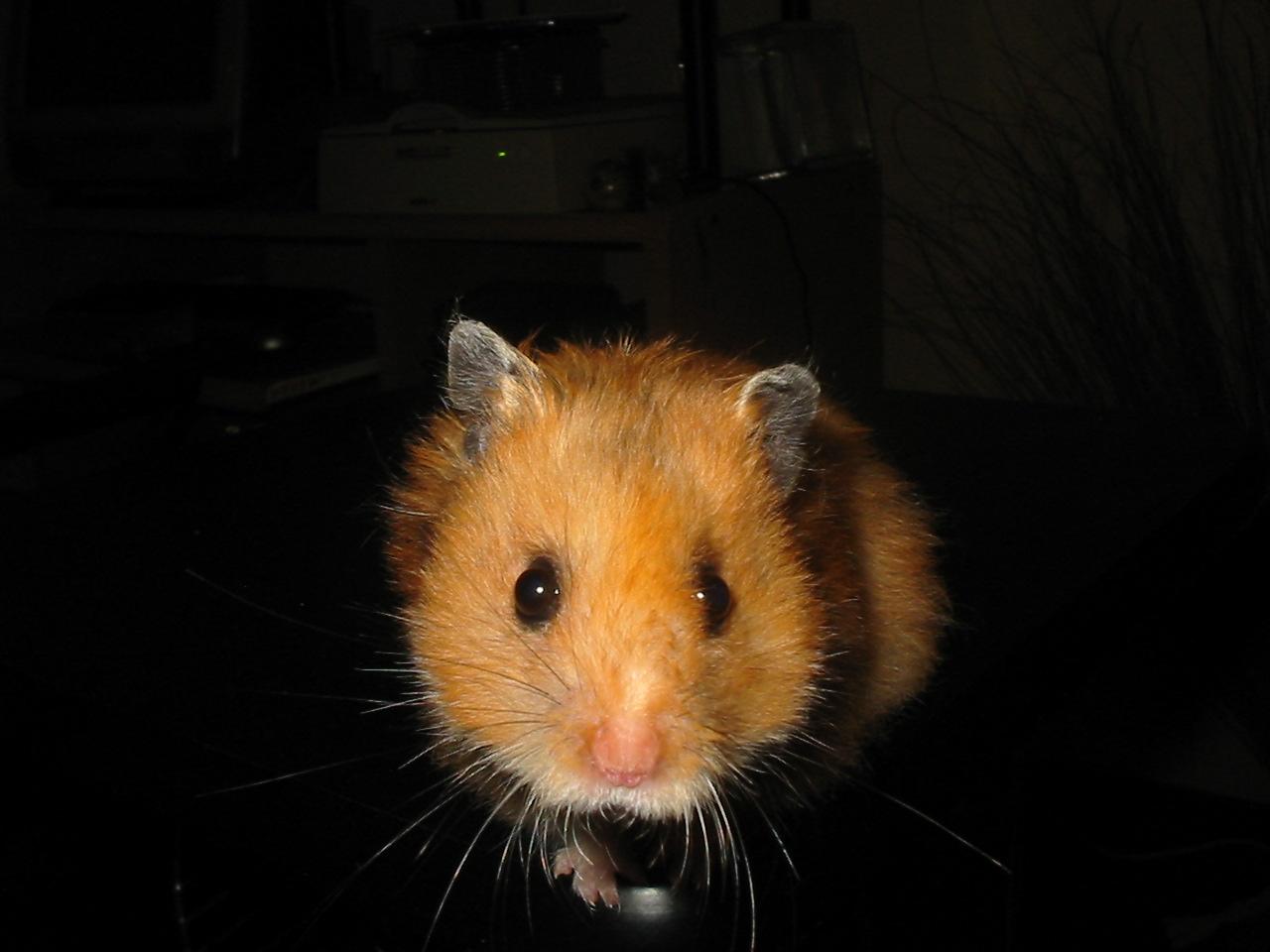2016-10-18-1476805030-8614969-hamster.jpg