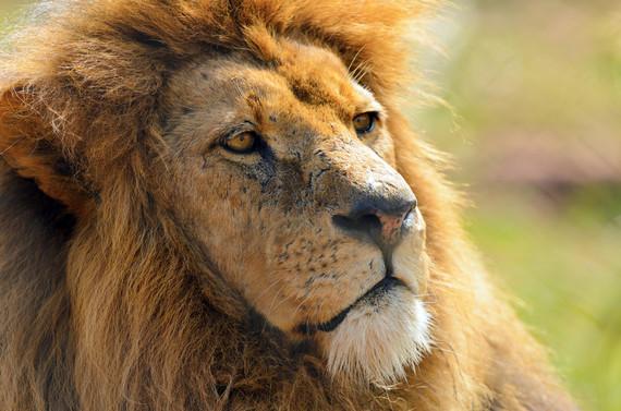 2016-10-19-1476871803-1565429-lion.jpg