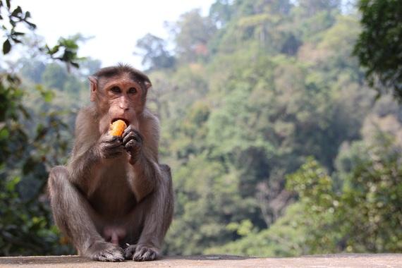 2016-10-27-1477561843-4855063-monkey1028661.jpg