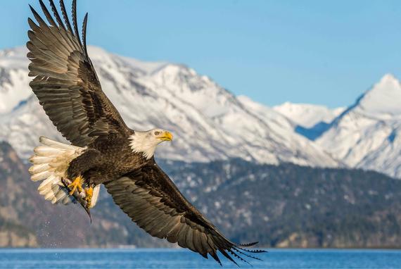 2016-11-02-1478114001-8713253-APA_2015_LoriRothstein_278631_Bald_Eagle_KK.jpg