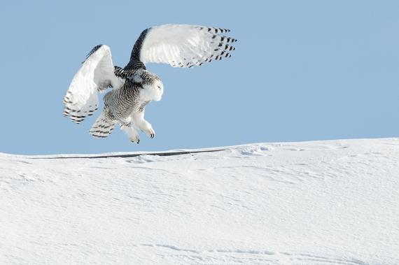 2016-11-11-1478824756-6703995-Snowy_owl_landing.jpg