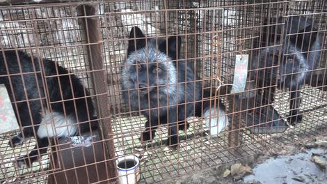 2016-11-17-1479377622-5249421-fur_fox_foxlookoutcage_0048_1215_HSI.jpg