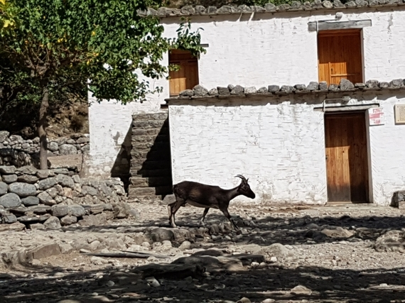 2016-11-28-1480344902-2626165-Hiking_Samaria_Gorge_Crete_7_Samaria_deserted_village_and_krikri_wild_goat.jpg